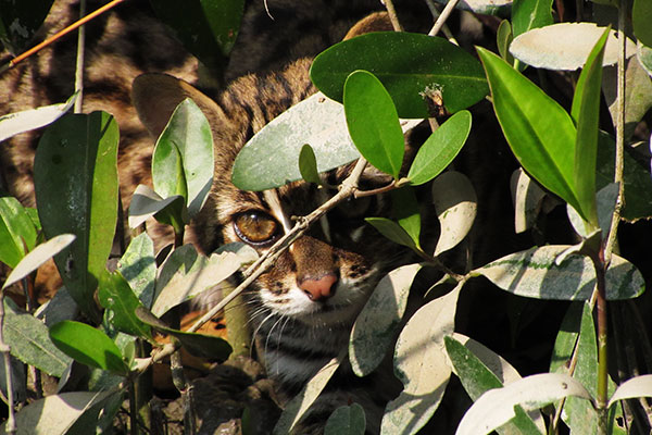 A rare sighting of a leopard cat (Prionailurus bengalensis) occurred next to Lawdobe forest office on the morning of 16 Jan