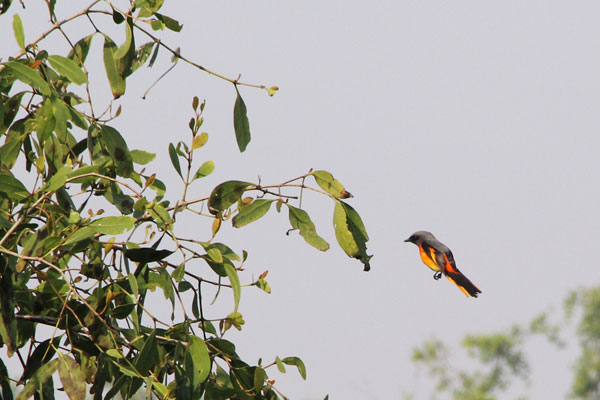A flock of scarlet minivet was browsing on a Keora tree in the Sundarbans Mangrove forest. January 2017