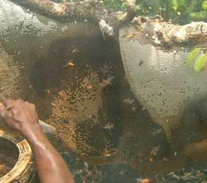 Honey Collection in Sundarbans