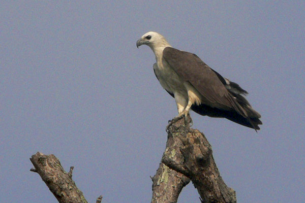 wb-eagle
