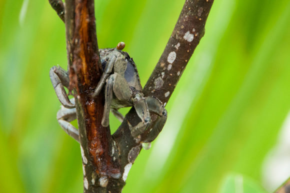 crab-on-tree