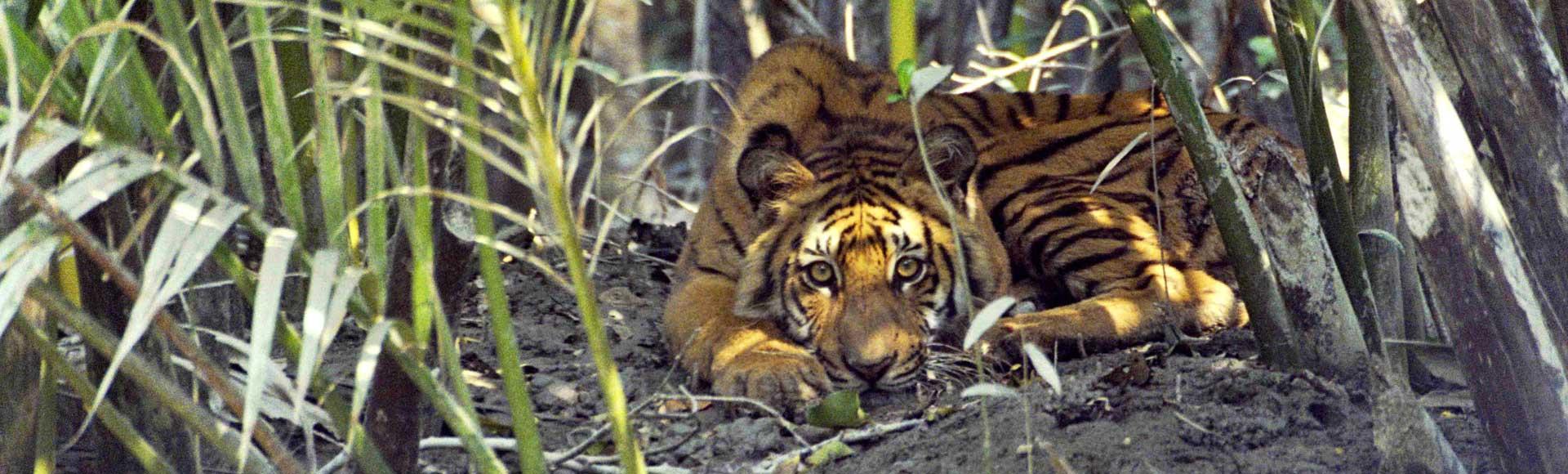 tiger-banner-slim